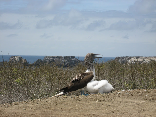 Blue-footed booby with young