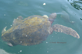 Sea turtle off Ecuador's coast