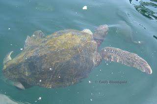 Sea turtle off Ecuador's coast