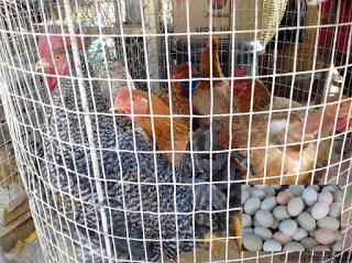 Live chickens, Feria Libre, Cuenca, Ecuador