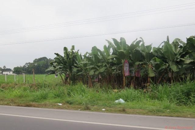 Banana farm under the fog