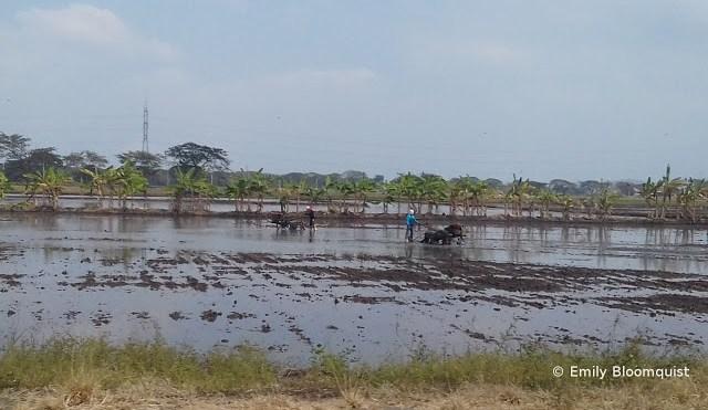 Plowing an Ecuador rice field