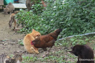 Cats and roosters