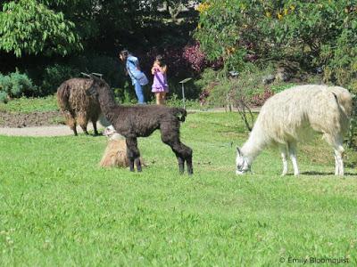 Observant young llama