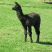 Young llama standing in grass