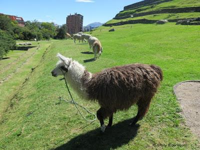 "Llamas ""mow"" the lawn at Inca ruins, Ecuador"