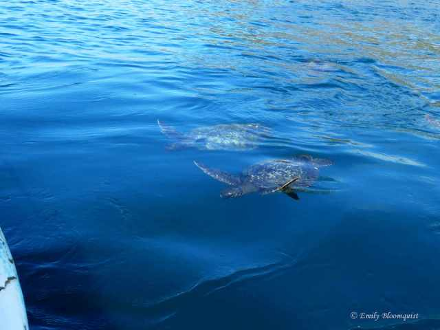 Two sea turtles near boat in Ecuador