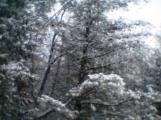 Conifers in Snow 003