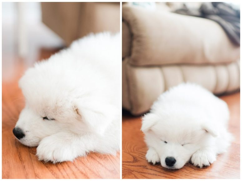 Meet Koda, Our Sweet Samoyed!   Emily Moore   Private Photo Editing