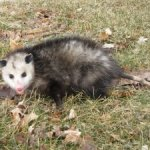 The Opossum's Rebuttal