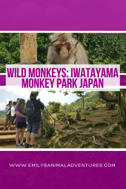 Wild Monkeys: Iwatayama Monkey Park Japan