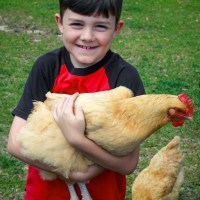 Chicken Oil and Scaly Mites - Natural Remedy
