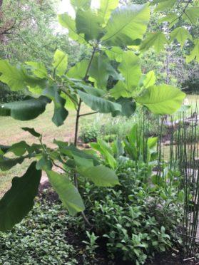 My favorite tree--Big Leaf Magnolia.