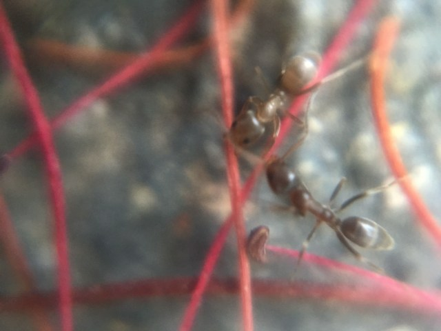 Two ants in bottle brush needles, 48th Street. Taken with 15X Micro Phone Lens, Oakland, CA, 2016