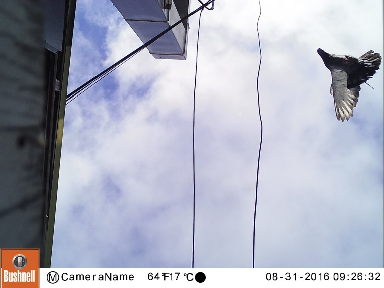 Low-flying pigeon from below. The first of the Aggressor's image to make me feel something. Taken with the Bushnell Trophy Cam HD Aggressor, Oakland, CA 2016.