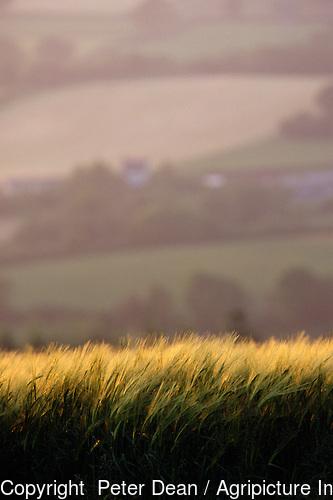 Ears of green barley evening light. Farmland background.