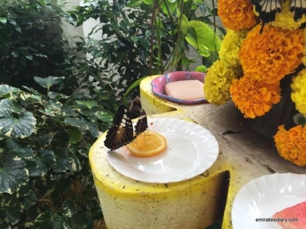 71-butterfly-garden-dubai-pictures-2015-emiratesdiary-071