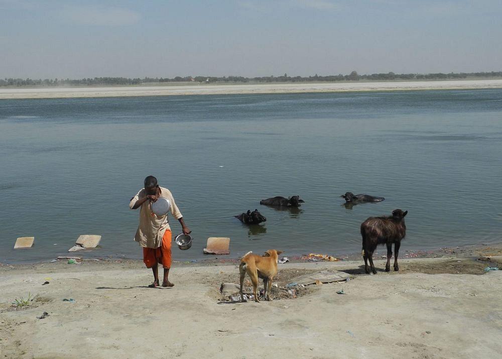 krowy_Ganges