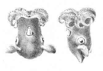 Grimpoteuthis_meangensis