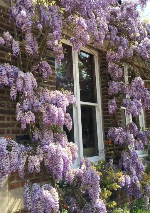 Home Essex Wisteria Sunshine Countryside
