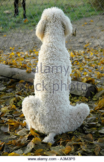 portrait-of-the-back-of-a-cream-colored-poodle-dog-sitting-near-a-a3m3p5