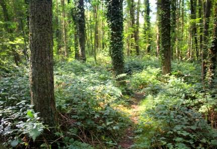 Pine Wood, Gower