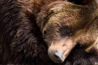 Bear asleep