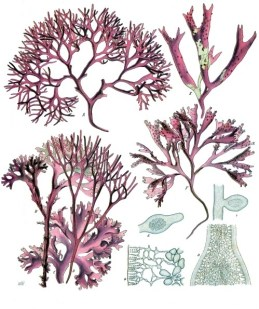 """Irish moss or carrageen moss (Irish carraigín, """"little rock"""" from wikipedia"""
