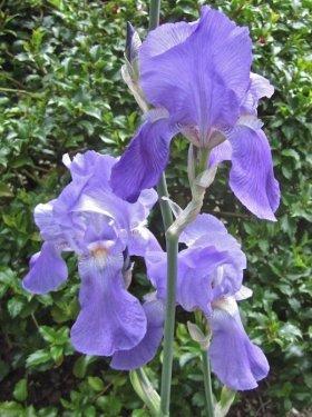 iris, heirloom