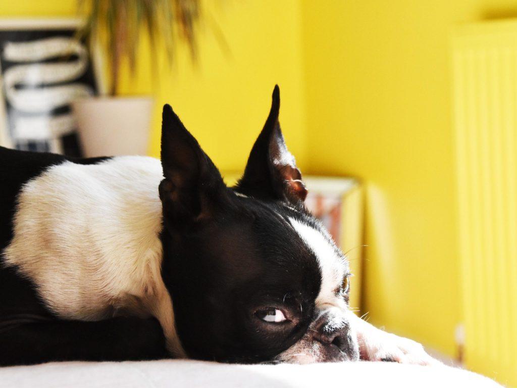 Boston terrier in yellow bedroom