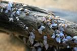 Goose barnacles on log