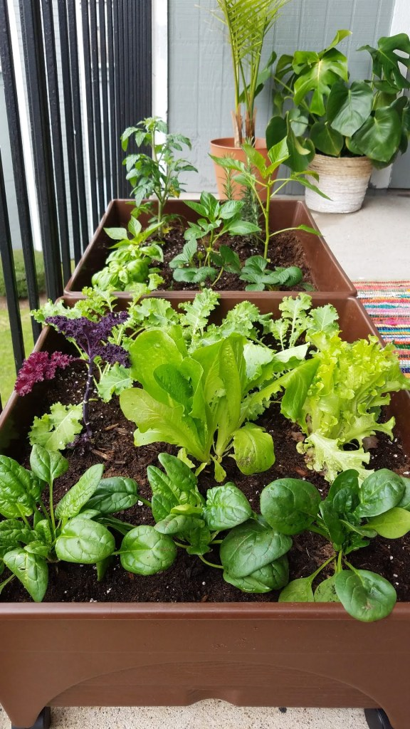 i started my own patio vegetable garden