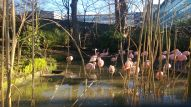 Flamingoes at Edinburgh Zoo.