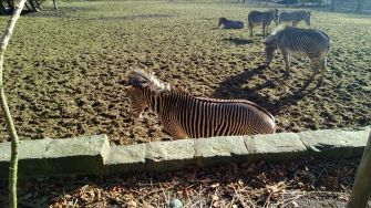 Zebras (at the top of the hill)
