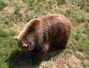 Brown Bear at ZSL Whipsnade Zoo