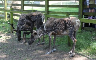 Reindeer at ZSL Whipsnade Zoo