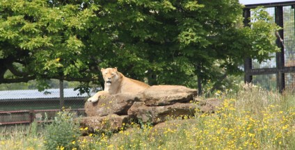 Lions at ZSL Whipsnade Zoo