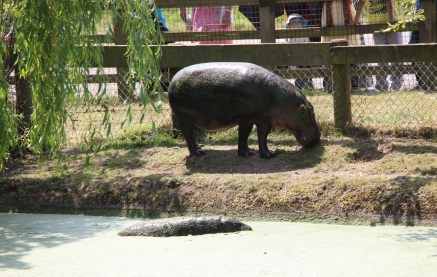 Pygmy Hippos at ZSL Whipsnade Zoo