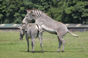 Zebras at ZSL Whipsnade Zoo