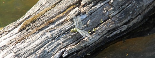 Dragonfly at ZSL Whipsnade Zoo