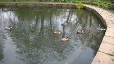 Ducks at Golden Acre Park