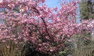 merisier en fleurs (Copier)