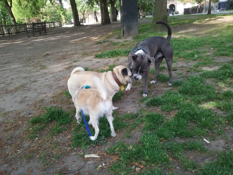 usty the Chihuahua/Chinese mix, Bafo the Stafforshire Bull Terrier out in the park