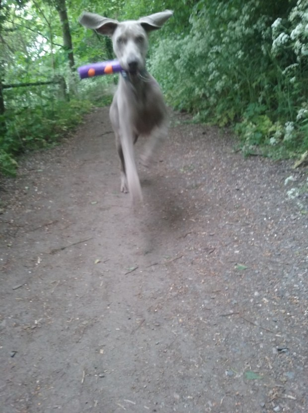 Max the Weimaraner puppy playing