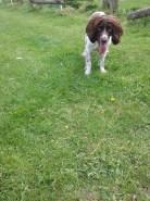 Freddie the English Springer Spaniel ready to play outdoors