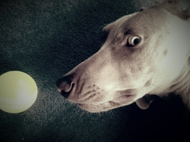 Max the Weimaraner playing on the floor