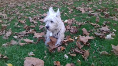 Brus the male West Highland White Terrier enjoying the outdoors