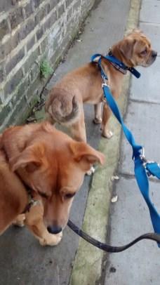 Georgie, the crossbreed Golden Retriever/Labrador, and Ziggy, the crossbreed Pug/Cocker Spaniel/French Bulldog/Boston Terrier, during their dog Day Care