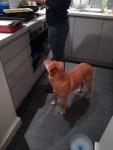 Georgie, the crossbreed Golden Retriever/Labrador during her dog Day Care