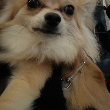 Charles, the long-haired Chihuahua, posing during his dog Training